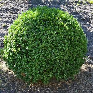 ilex crenata stokes kugel 60cm wie buchsbaum nie wieder With whirlpool garten mit kunst bonsai