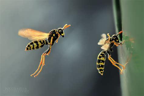 wespen in der wand tauchert c 2012 wespen im winter was geschieht mit ihnen wespen