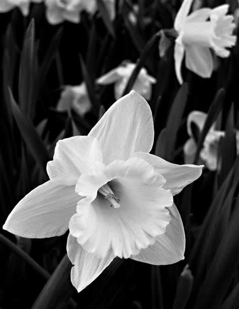 17 Best images about (Narcissus) December Flower on