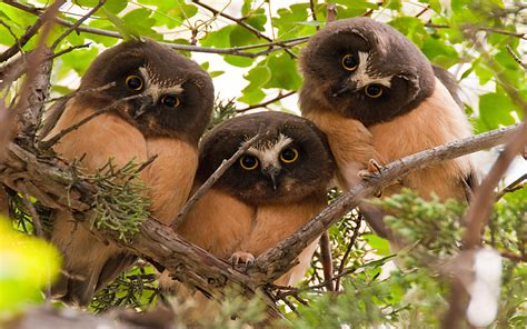northern  whet owl  young curious owls   branch