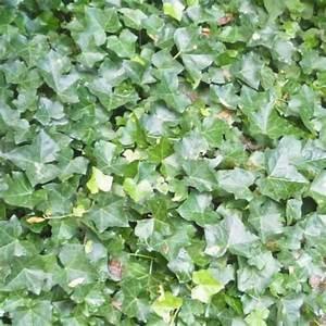 Efeu Pflanzen Kaufen : efeu pflanzen g nstig kaufen einfach online bestellen ~ Buech-reservation.com Haus und Dekorationen