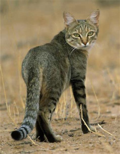 where do domestic cats come from where do cats come from neatorama