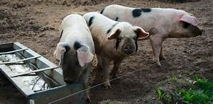 Threat Of Novel Swine Flu Viruses In Pigs And Humans
