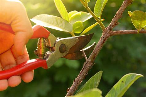 trim  trees   winter   pruning