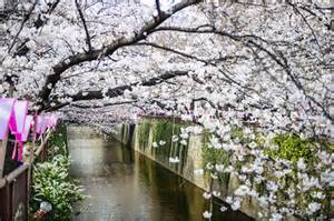 Kyoto Japan Cherry Blossoms