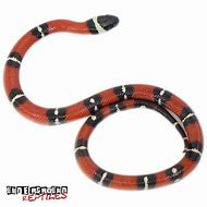 Best Milk Snake - ideas and images on Bing | Find what you'll love