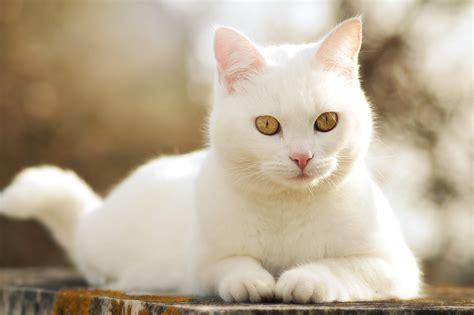 White Cat Cute Wallpaper  Animals  Wallpaper Better