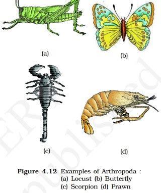 classification  animal kingdom animalia