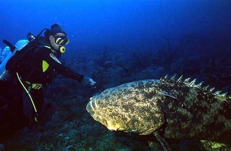 grouper goliath fish giant species fishing largest whopping hawaii 1000 teeth atlantic livescience sea kg wildlife pound conservation quinquefasciatus declared