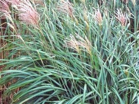 landscape grass types types of ornamental grasses landscaping ideas and hardscape design hgtv