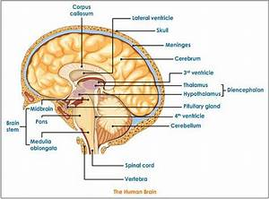 Diagram-of-the-human-brain-parts-4