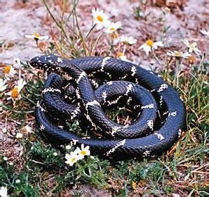 Marylands Great Snake Hunter: The Eastern Kingsnake ...