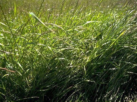 grass perennial perennial ryegrass lolium perenne
