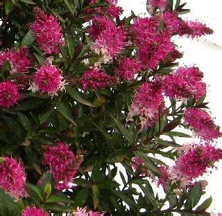 Hebe Raspberry Ripple  Evergreen Shrub, Hardy Flowers