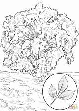 Coloring Elm Tree Pages American Magnolia Southern Trees Clipart Printable Above Supercoloring Designlooter Drawing America Categories sketch template