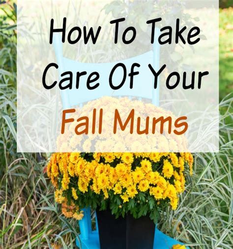 how to take care of mums in fall how to take care of your mums indoors and out