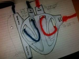 The 25  Best Circulatory System Ideas On Pinterest