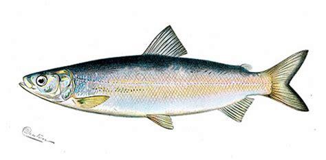 Fish Species Of Otty Lake