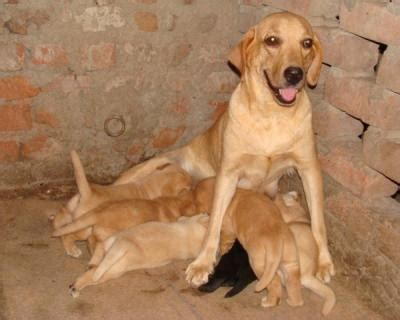 coimbatore india ads  pets animals dogs puppies