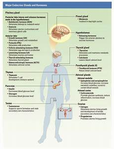 Endocrine System Brain