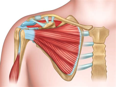 12 photos of the muscles and bones of human. Anatomy of the Human Shoulder Joint