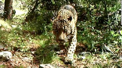 Jaguars Az by Jaguar In U S There S Of One In Arizona Cnn