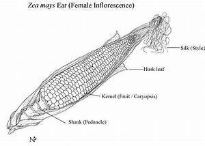Corn-diagram