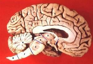 File:Human brain midsagittal cut description.JPG ...