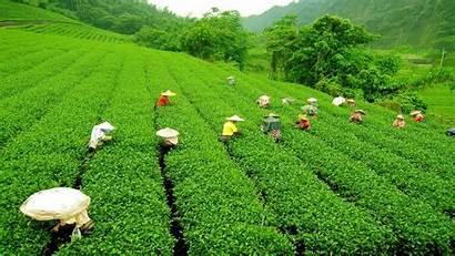 Perkebunan Tanaman Dan Pertanian Jenis Tahukah Kamu