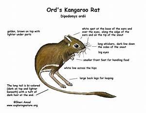 Kangaroo Rat  Ord U0026 39 S