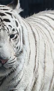White tiger, is it really endangered? - WriteWork