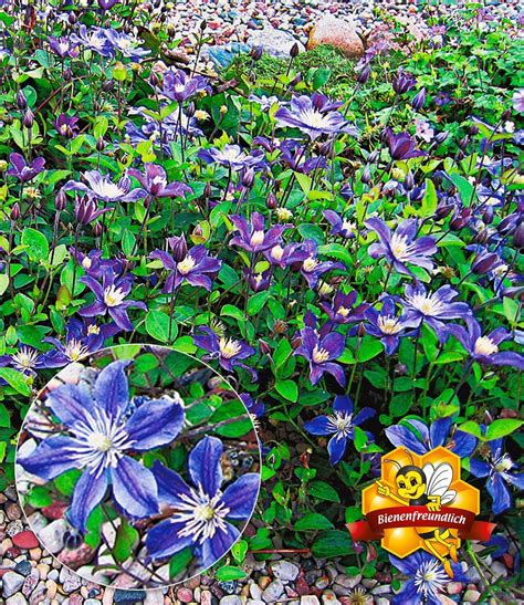 Garten Pflanzen Winterhart by Bodendecker Clematis Arabella Garten Blumen Clematis