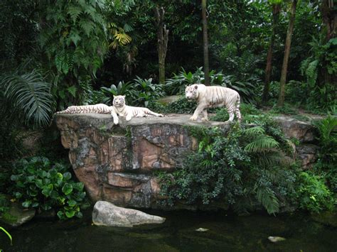 between me and singapore zoo white tigers omar winnie jippie stellify