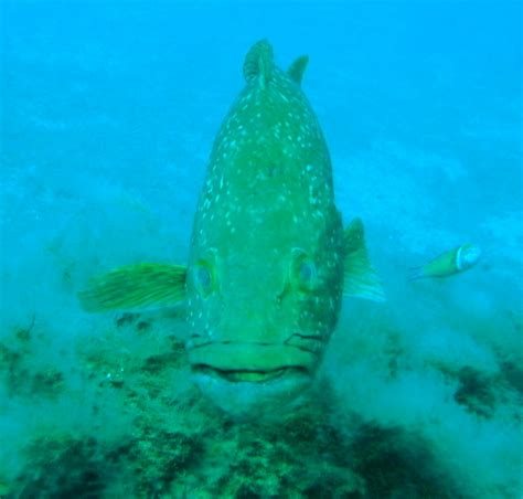 grouper dusky