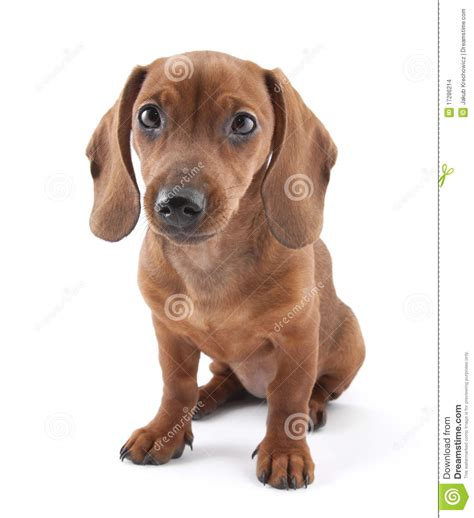 Dachshund Puppy 3 Months Old Stock Photo Image Of