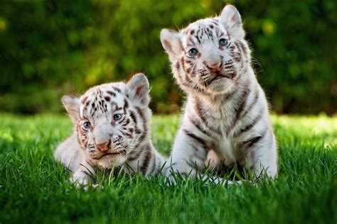 baby tiger white white tiger cubs wallpapers images photos pictures backgrounds
