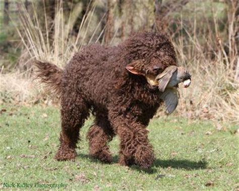 Barbet Dog Breed Information American Kennel Club