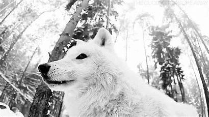 Wolf Gifs