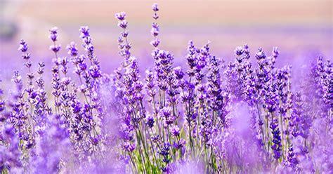 fiore di lavanda lavanda coltivazione fioritura e potatura greenstyle