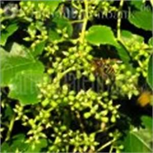 Wilder Wein Vermehren : wilder wein dreispitzige jungfernrebe parthenocissus tricuspidata schneiden pflege pflanzen ~ Orissabook.com Haus und Dekorationen