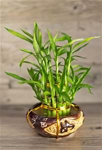 Bambus Als Zimmerpflanze : gl cksbambus lucky bamboo einpflanzen und pflege ~ Eleganceandgraceweddings.com Haus und Dekorationen