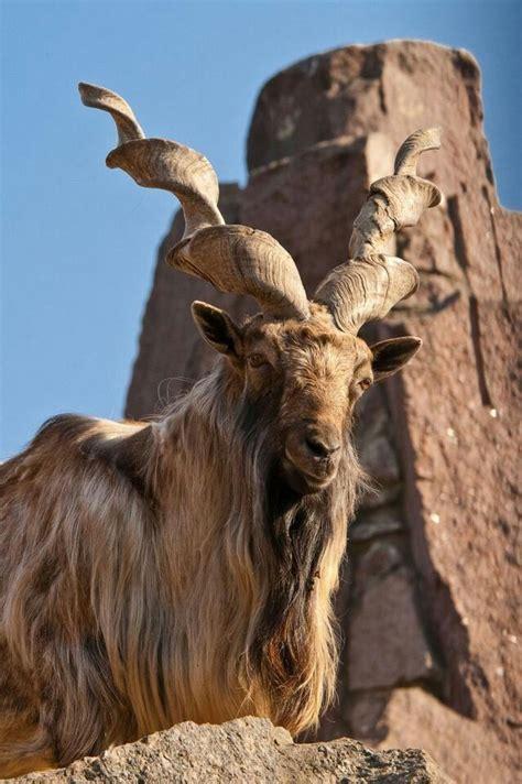 34 Best Goat Tattoo Images On Pinterest  Beautiful Horses