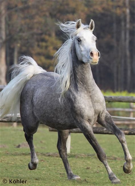 verkauf asil araber arabische pferde ansiba arabians