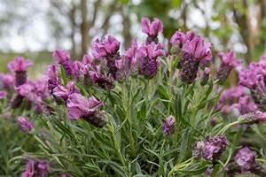 Schopf Lavendel Tee : schopf lavendel lavandula stoechas bilder und fotos ~ Michelbontemps.com Haus und Dekorationen