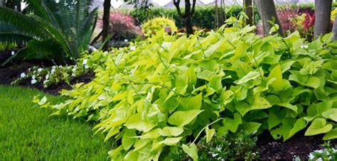 sweet potatoe vine sweet potato vine costa farms