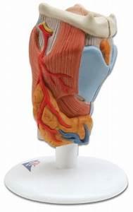 Larynx  2 Part