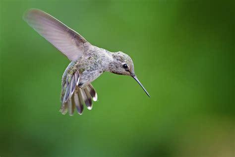 Annas Hummingbird Photograph by Mallardg500