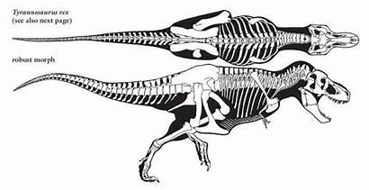 Rex Skeleton Dinosaur Anatomy Dinosaurs Tyrannosaurus Drawing