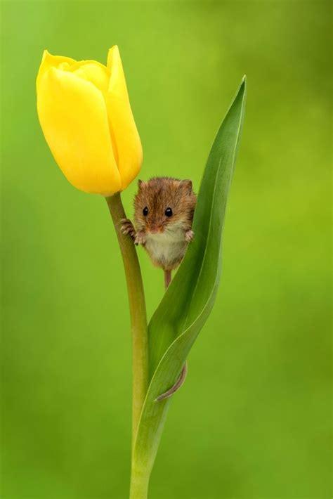 flower beds harvest mice sleep  tulip petals