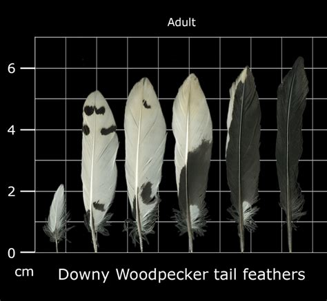 the feather atlas feather identification and scans u s